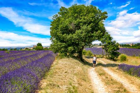 Flowering lavender fields Stock Photo