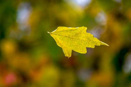 Leaf flies through the air in autumn