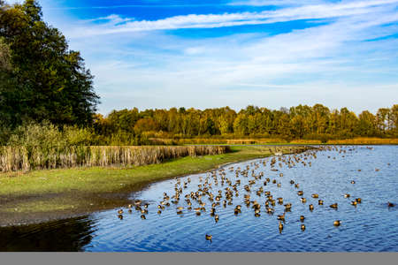 Wild geese at the lake  Stock Photo