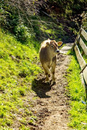 Cow on the alpine meadow  Stock Photo