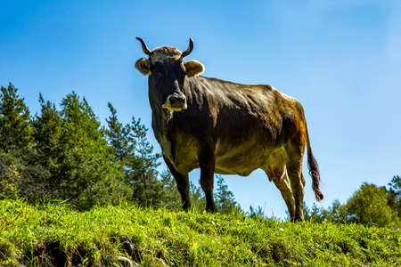 Cow on the alpine meadow  Stock Photo