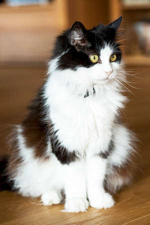 Black White Domestic Cat
