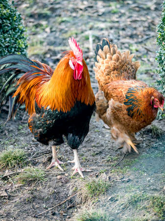 Rooster with hen in natural environment  Stock Photo