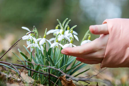 Child touches snowdrop with finger  Stock Photo