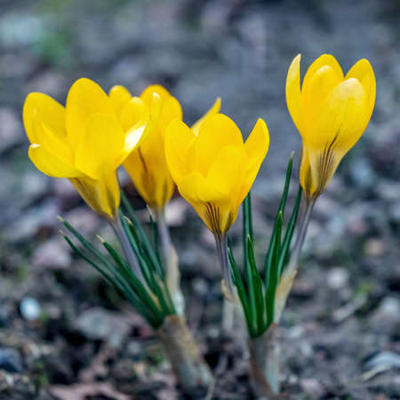 Crocus flowers in the spring  Stock Photo