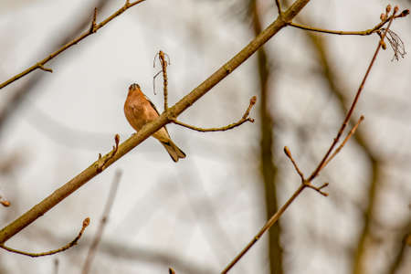 chaffinch in natural environment