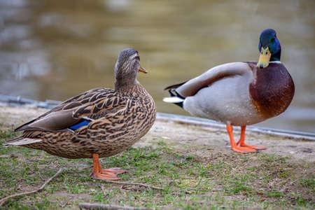 Wild animal duck Stock Photo