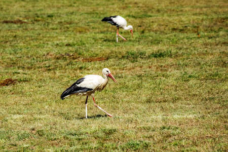 Stork in the meadow