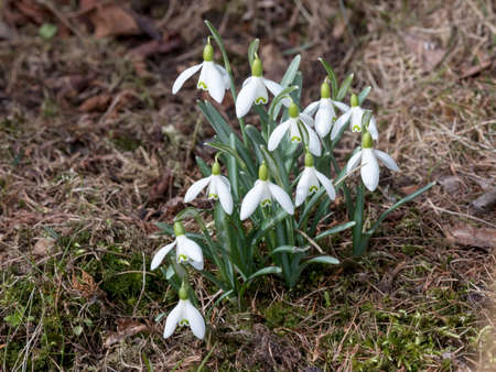 Snowdrops in natural environment