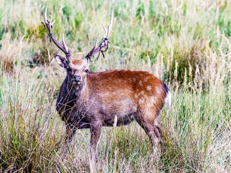 Deer sweeps the antlers