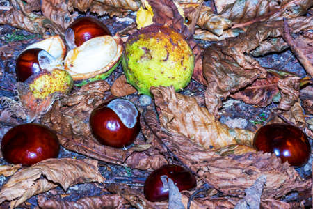 Fallen chestnuts in nature