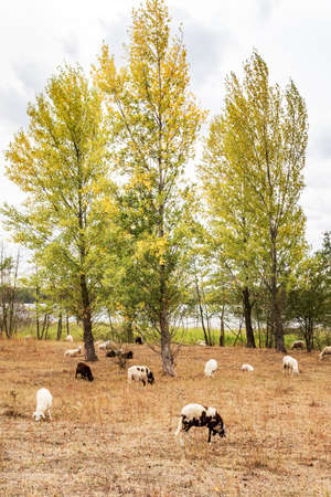 Sheep in the pasture under trees Stock Photo