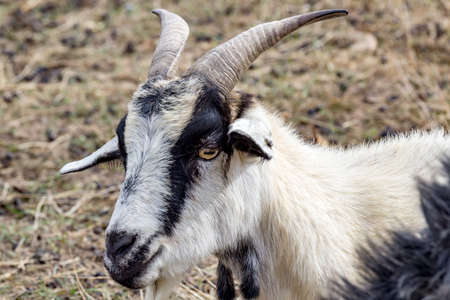 Portrait of a goat Stock Photo