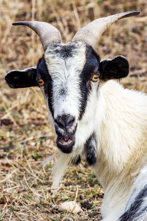 Portrait of a goat 스톡 콘텐츠
