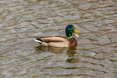 Wild animal duck Stock Photo