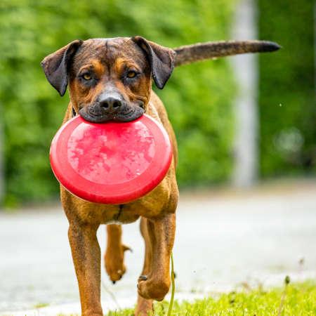 Big dog retrieves an object Banco de Imagens