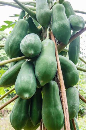 Green Papaya on the papaya tree photo