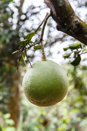 citrus maxima: green pomelo growing in an orchard