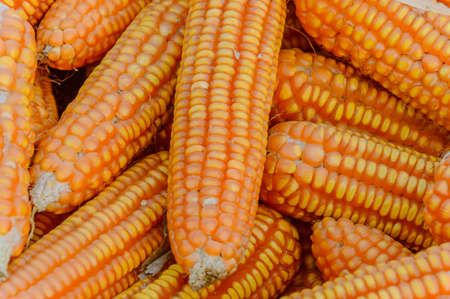 harvest background: pile of ripe corn. Corn harvest background Stock Photo