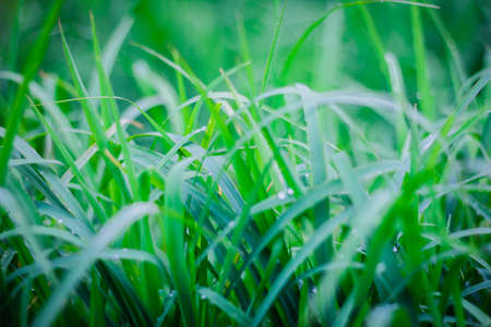 the Green grass  leaf with rain drop, background Banco de Imagens