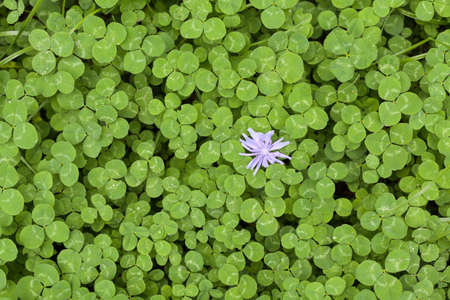 leafed: Green clever whith blue flavor Stock Photo