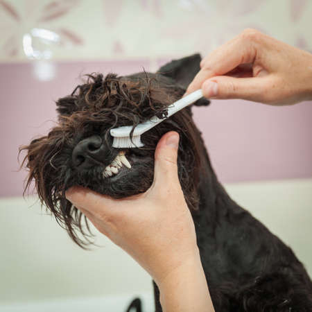 observes: Miss cleans teeth dog observes hygiene and healthy lifestyle