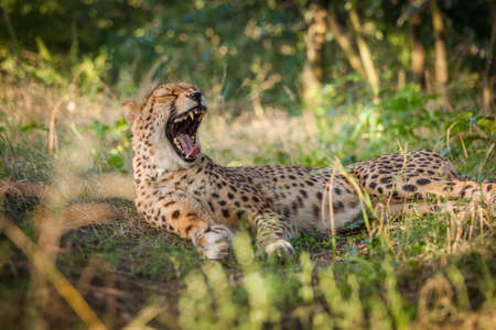 walk in: Cheetah on a walk in nature closely Viewing surroundings Stock Photo