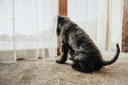 Perro negro mirando por la ventana a través de las cortinas y observando los alrededores.