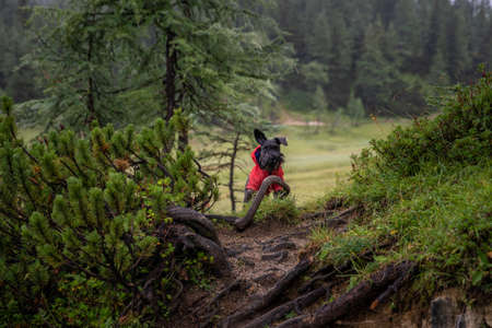 small black dog on a forest mountain hike with his owner. He stands and waits on the trail Stok Fotoğraf