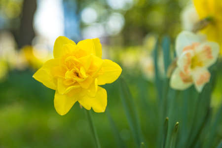 Yellow flowering daffodil on green meadow. 스톡 콘텐츠