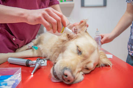 examination of a dogs ear in a veterinary office