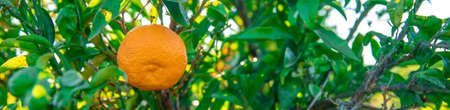 ripe tangerines on a tree before harvest