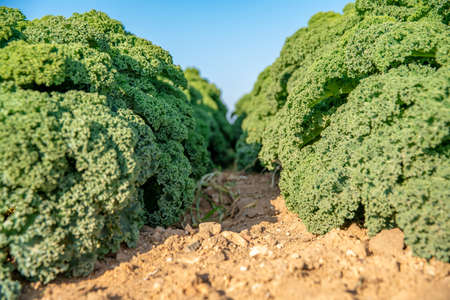 Curly kale grown on a farm field in Spain 版權商用圖片