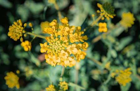 rapeseed flower. farm plant for oil production