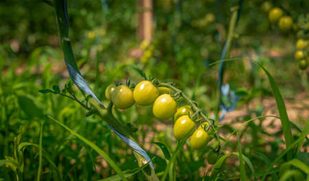 ripening green tomatoes in a greenhouse on an organic farm. healthy vegetables full of vitamins