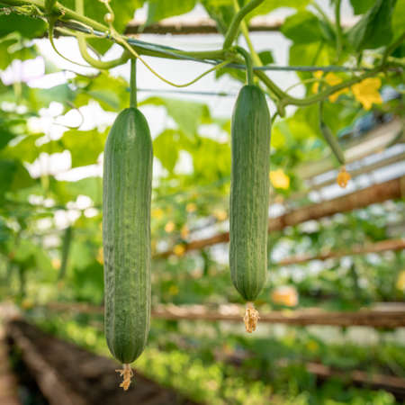green cucumbers growing in a greenhouse on the farm, healthy vegetables without pesticide, organic product Banque d'images
