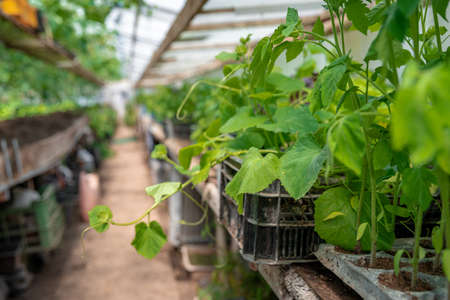 seedlings of cucumbers and tomatoes in a greenhouse on an organic farm