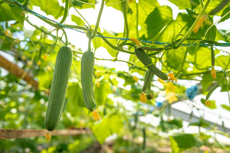 cucumbers growing in a greenhouse, healthy vegetables without pesticide, organic product Фото со стока