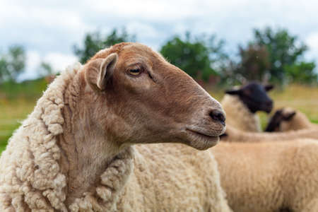 portret of sheep on pasture in a meadow on a farm