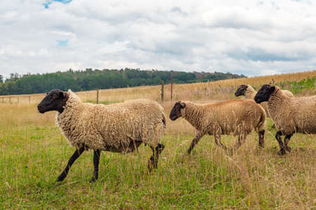 sheep in a paddock on an organic farm Stock fotó
