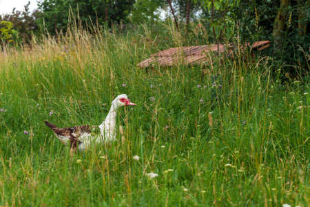 duck on a green meadow in the village