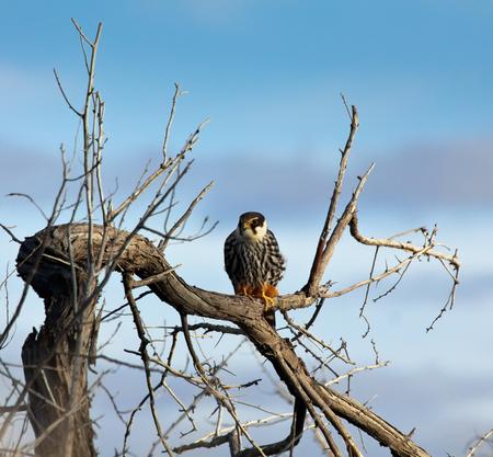 falconidae: Hobby falcon  Falco subbuteo  sitting at a tree, Kazakhstan Stock Photo