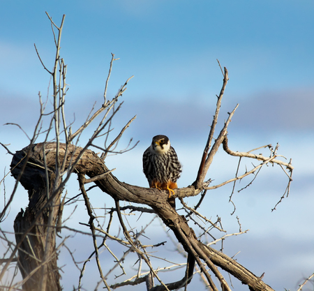 Hobby falcon  Falco subbuteo  sitting at a tree, Kazakhstan Reklamní fotografie