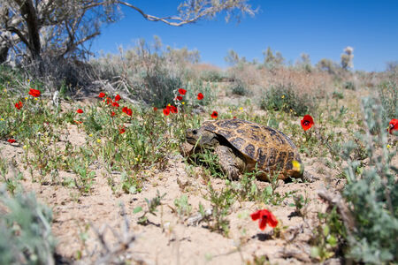 Central Asian tortoise  Agrionemys horsfieldii  in desert area, the Southern Kazakhstan Stock Photo