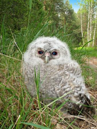 Tawny Owl fledgeling  Strix aluco  sitting on a ground, Belarus