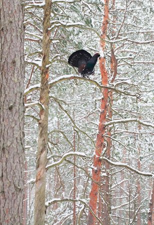 Winter displaying of adult male Capercaillie (Tetrao urogallus)  in a pine forest of northern part of Belarus Reklamní fotografie