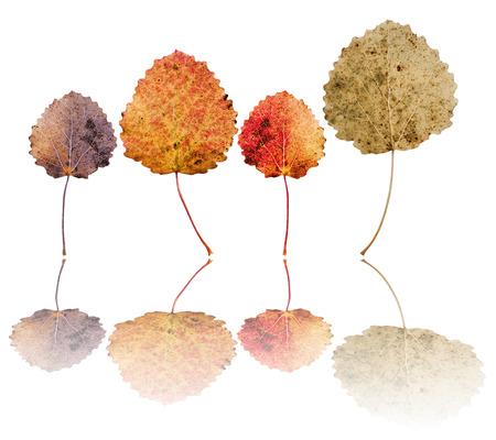 Leaves of European aspen (Populus tremula) isolated on white background Reklamní fotografie