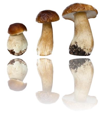 Boletus mushrooms (Boletus edulis) on a white background