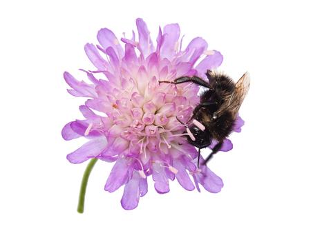 Humblebee (Bombus) on a pincushion flower (Knautia arvensis) isolated on white background