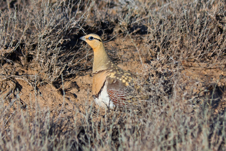 Male of Pin-tailed sandgrouse (Pterocles alchata) in desert of southern Kazakhstan